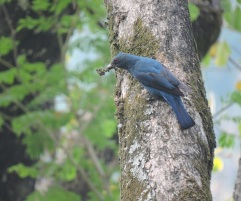 Asian Fairy Bluebird (female)