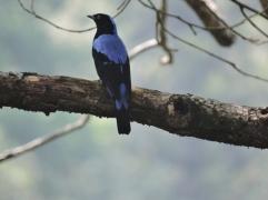 Asian Fairy Bluebird (male), Kodai