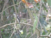 Bar Wing Flycatcher Shrike