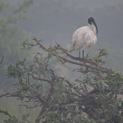 Black ibis, Sholinganallur