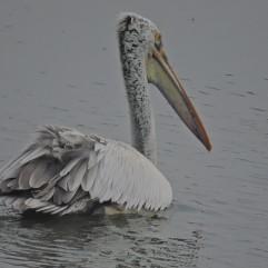 Spot Billed Pelican, Sholinganallur