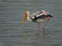 Painted Stork, Sholinganallur