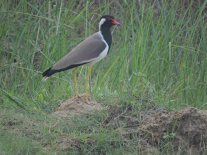 Red-Watt;ed Lapwing