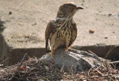 Common Hawk Cuckoo, Vedanthangal
