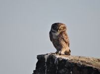 Spotted Owl, Ponneri