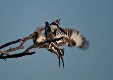 Pied Kingfishers, Chembarambakkam Lake