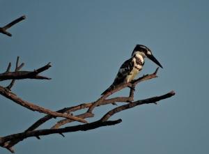 Pied Kingfisher, Chembarambakkam Lake