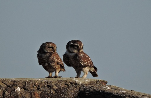 Spotted Owls, Pulicat Road