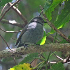 Nilgiri Flycatcher (female)
