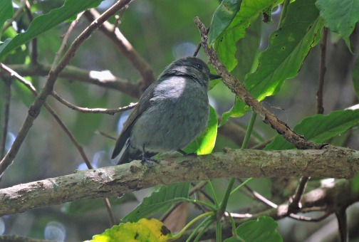 Nilgiri Flycatcher (female)