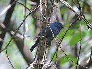 Nilgiri Flycatcher (male)