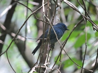 Nilgiri Flycatcher (male)