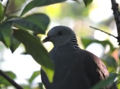 Nilgiri Wood Pigeon, Ooty
