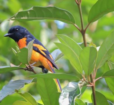 Orange Minivet, Kodaikanal