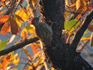 Streak-Breasted Woodpecker