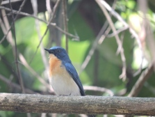 Blue-Throated Blue Flycatcher