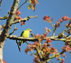 Vernal Hanging Parrot