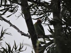 Malabar Barbet, Thekkady