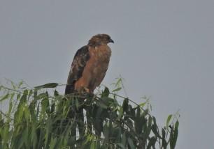 Marsh Harrier, Vedanthangal