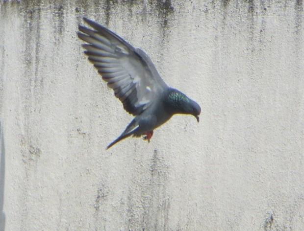 Rock Dove, Chennai