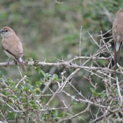 Scaly=Breasted Munia (Female)