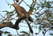 Common Hawk Cuckoo, Chennai