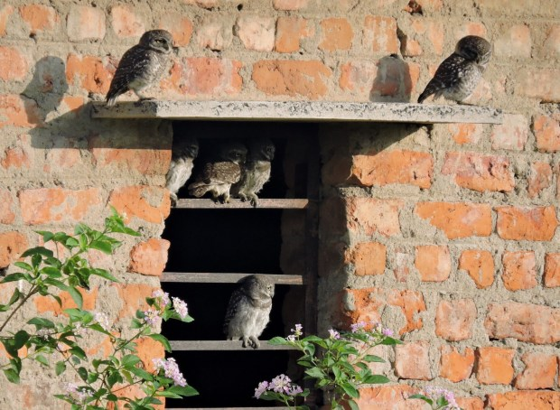 Spotted Owlets, Pulicat