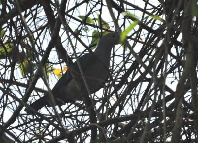 Mountain Imperial Dove. Kerala