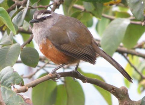 Laughing Thrush, Vattakanal