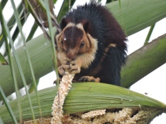Malabar Giant Squirrel, Thekkady