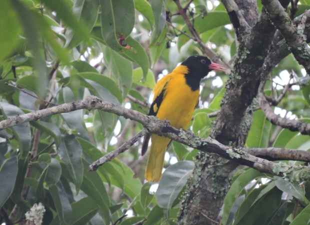 Black-Hooded Oriole, Thekkady