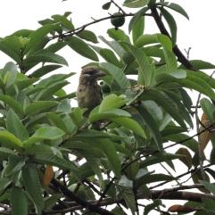 White-Cheeked Barbet, Munnar