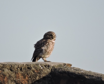 Spotted Owlet, Pulicat