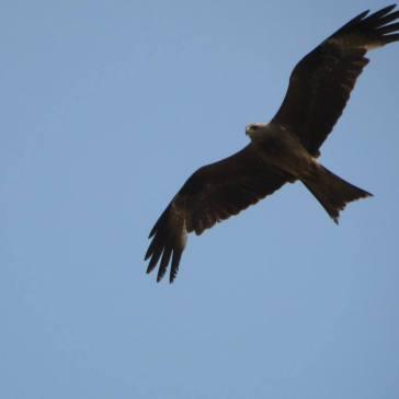 Black Kite, Vedanthangal