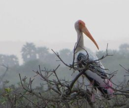 Painted Stork, Pulicat