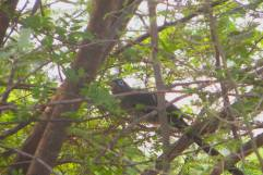 Blue-Faced Malkoha, Vedanthangal