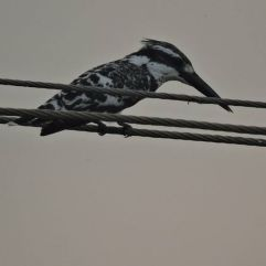 Pied Kingfisher, Vedanthangal
