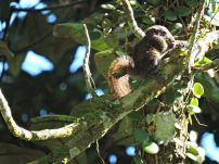 Grizzled Giant Squirrel (juvi)