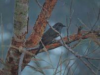 Grey-Bellied Cuckoo, Vedanthangal