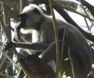 Grey Langur, Mudumalai