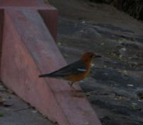 Orange-Headed Thrush, Vedanthangal