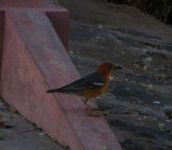 Orange-Headed Thrush, Vedanthangal