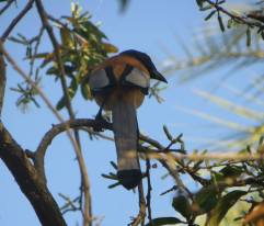 Rufuous Treepie, Vedanthangal