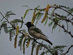 Black-Headed Cuckooshrike