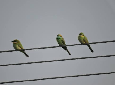Green Bee Eaters, Pulicat