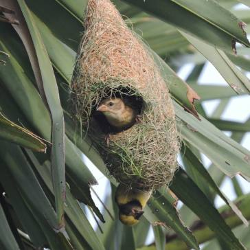 Baya Weaver (male & female), Pulicat