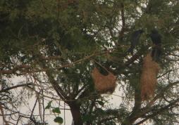Black Drongos, Pulicat