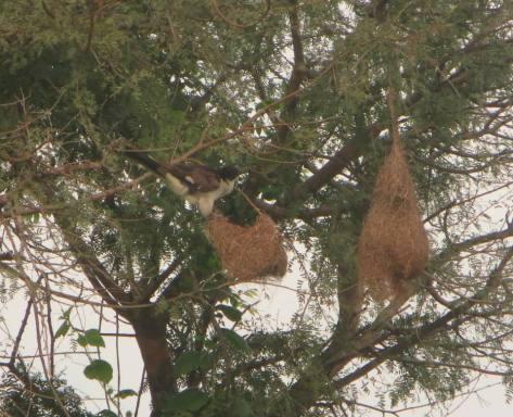 Jacobin Cuckoo, Pulicat