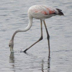Greater Flamingo, Sholinganallur