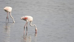 Greater Flamingos, Sholinganallur
